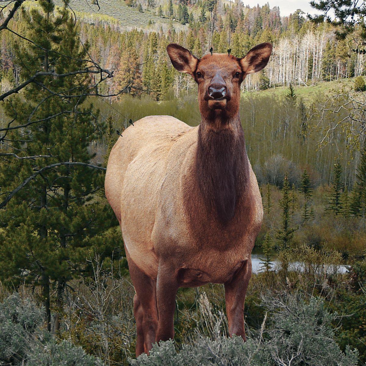 Montana Decoy Fred Eichler Elk Decoy